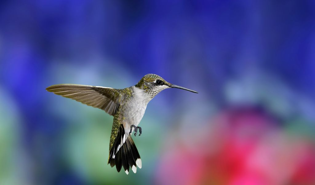 Hummingbird, HD, 2K